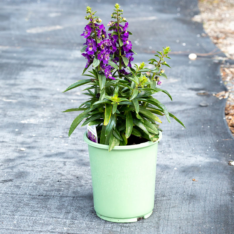 Angelonia flowers for sale near me