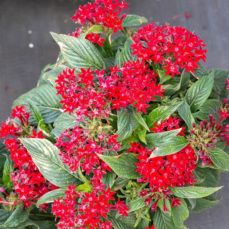 Red Pentas Flowers for sale near me