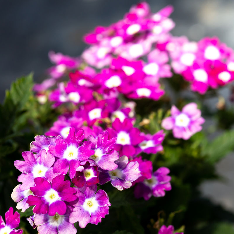 Verbena flower for sale near me jacksonville fl
