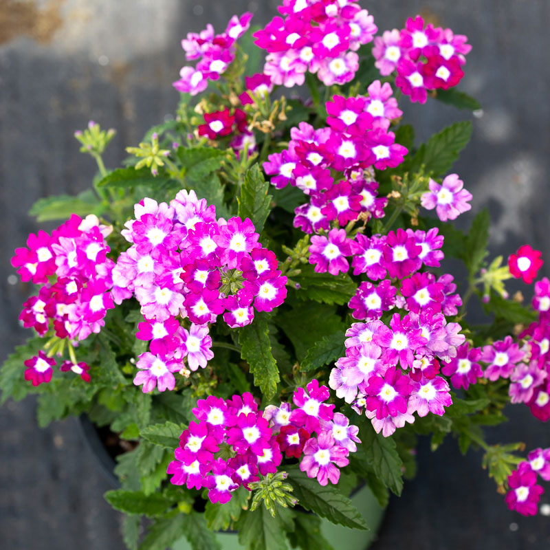 small verbena plants for sale near me