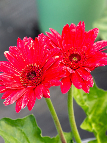 Red Gerbera flowers for sale near me