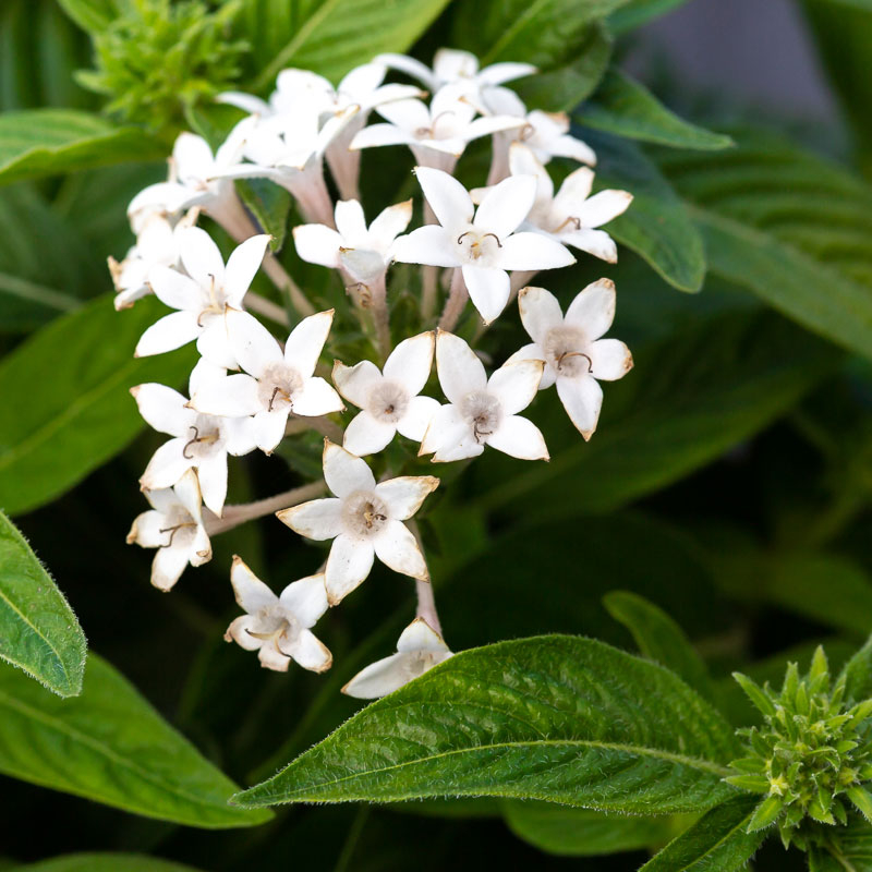 White Pentas Flowers for sale near me
