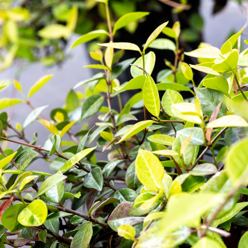 Asiatic Jasmine for Sale