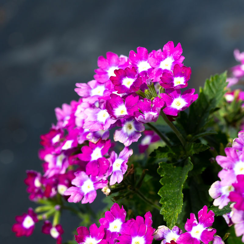 purple verbena flower for sale near me
