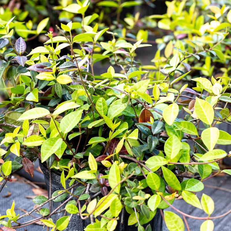 Asiatic Jasmine for Sale Jacksonville FL