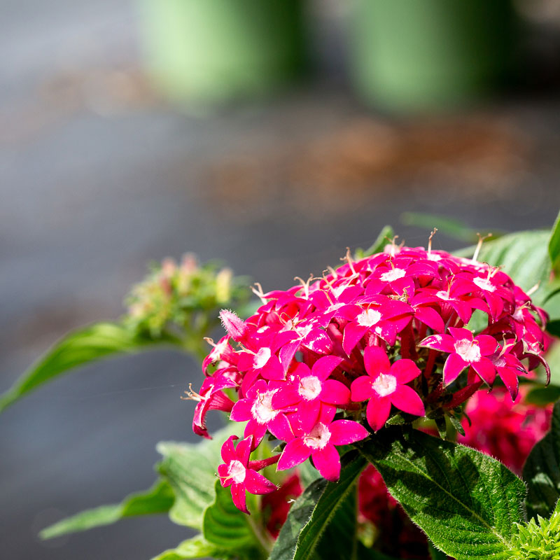Pentas Flowers for sale near me