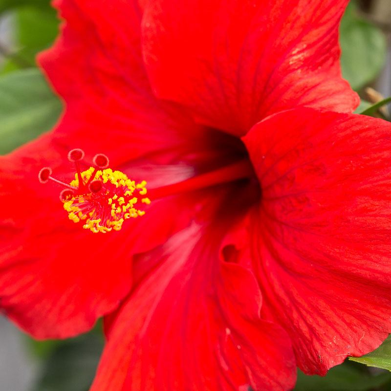 Hibiscus For Sale Jacksonville