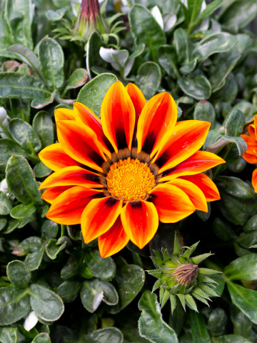 Gazania Flowers for sale near me
