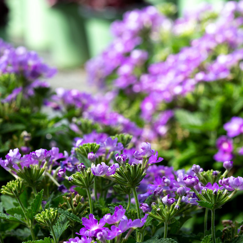 Verbena plants for sale near me