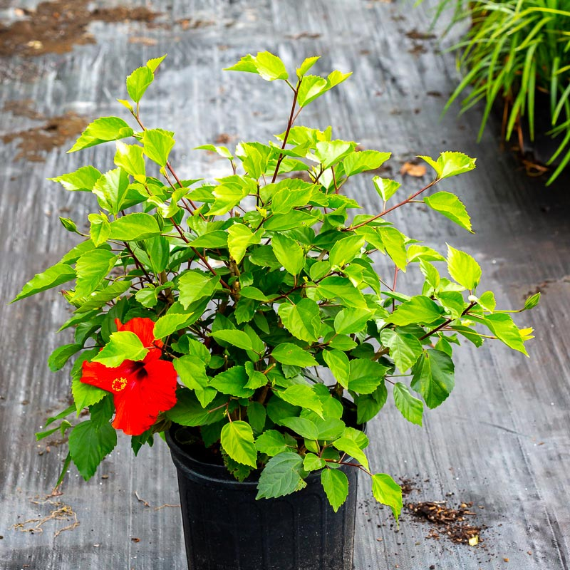 Hibiscus For Sale Near Me