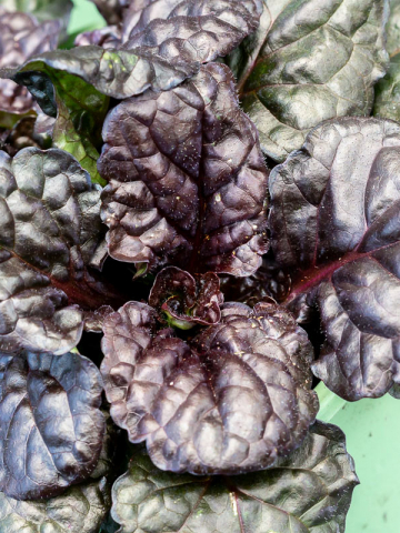 black scallop ajuga plants for sale near me